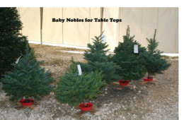 Baby Noble Firs