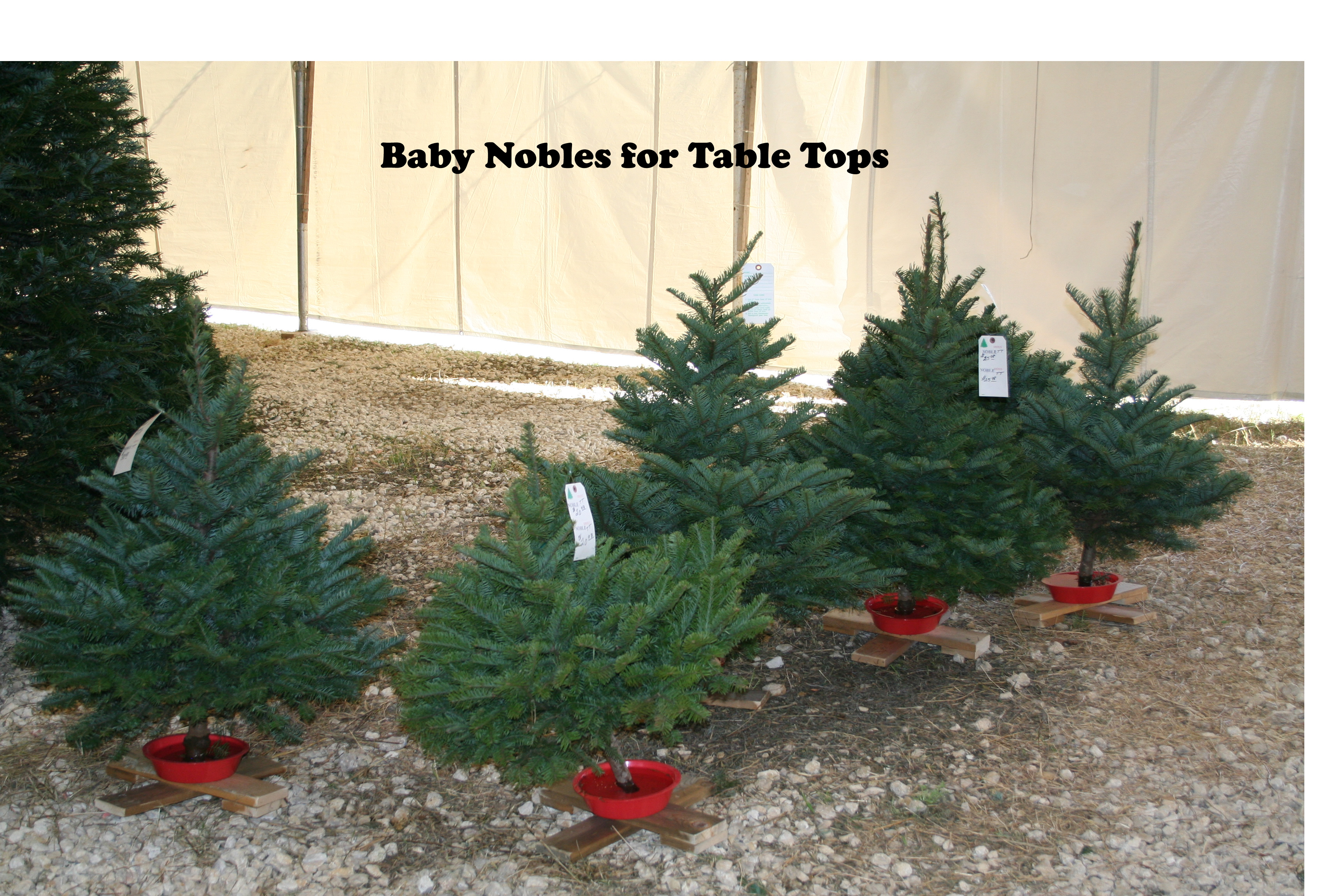 Baby Noble Firs | South Texas Christmas Trees | Holiday Hills ...
